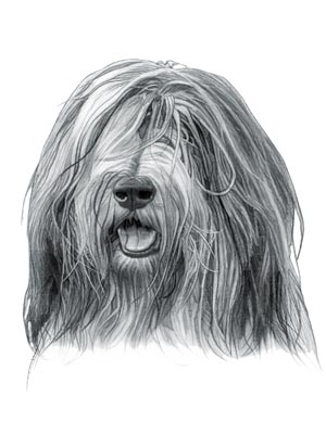 Medium Sized Dogs - Bearded Collie