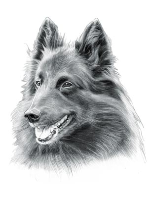 Herding Dogs - Picture of Belgian Sheepdog