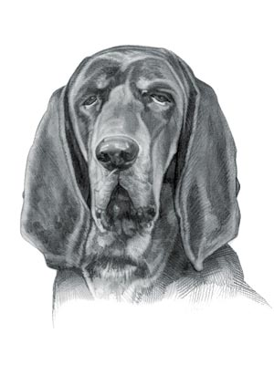 Hound Dog Breeds - Picture of Black and Tan Coonhound