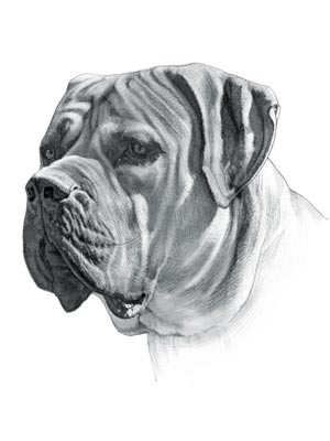 Dog Fighting - Boerboel