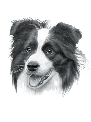 Dog Names - Border Collie