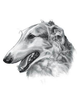 Sighthound Breeds - Picture of a Borzoi