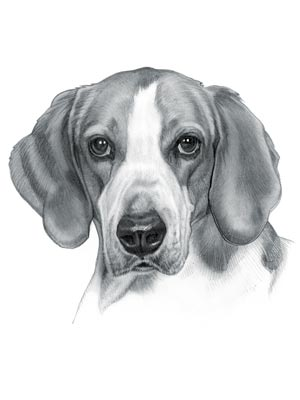 English Foxhound Dog